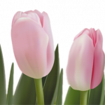 Grab and download Tulip Icon Clipart