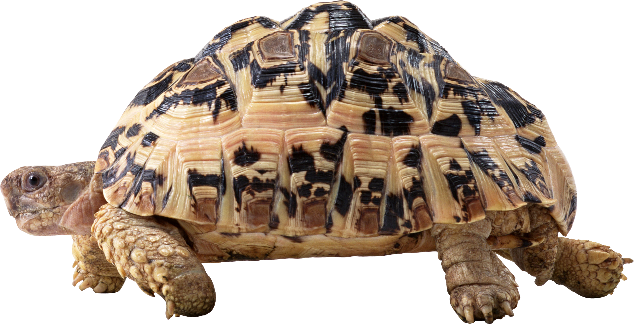 Download and use Turtle Transparent PNG File