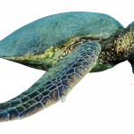 Download and use Turtle PNG Picture