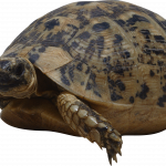 Free download of Turtle PNG Image Without Background