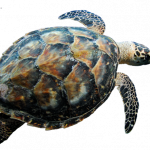 Now you can download Turtle Icon Clipart