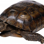 Download for free Turtle Transparent PNG File