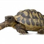 Free download of Turtle Transparent PNG Image