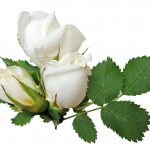 Free download of White Roses PNG