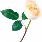 Download for free White Roses PNG Picture