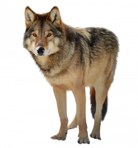 Best free Wolf  PNG Clipart