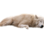 Download for free Wolf PNG Image