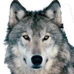 Best free Wolf PNG Picture