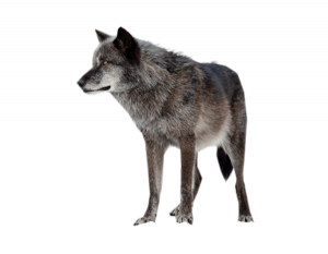 Now you can download Wolf High Quality PNG