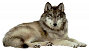 Now you can download Wolf PNG Picture
