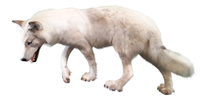 Free download of Wolf PNG