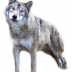 Download and use Wolf Icon Clipart