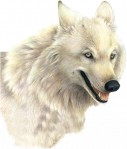 Download and use Wolf PNG in High Resolution