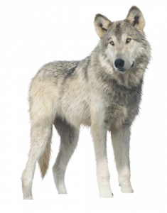 Download for free Wolf PNG