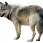 Best free Wolf PNG