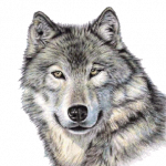 Download and use Wolf In PNG