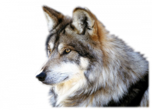 Download for free Wolf High Quality PNG