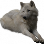 Free download of Wolf  PNG Clipart