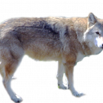 Grab and download Wolf High Quality PNG
