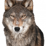 Download for free Wolf Transparent PNG Image