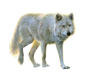 Best free Wolf Icon PNG