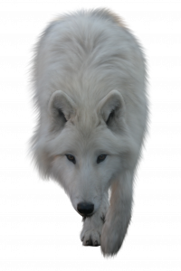 Free download of Wolf High Quality PNG
