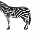 Download this high resolution Zebra  PNG Clipart